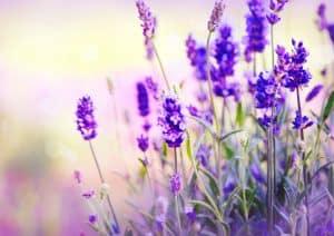 Lavendel Verbreitung